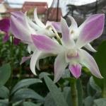 Perawatan Anggrek Dendrobium