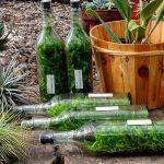 Langkah – Langkah Mengeluarkan Bibit Anggrek Botol