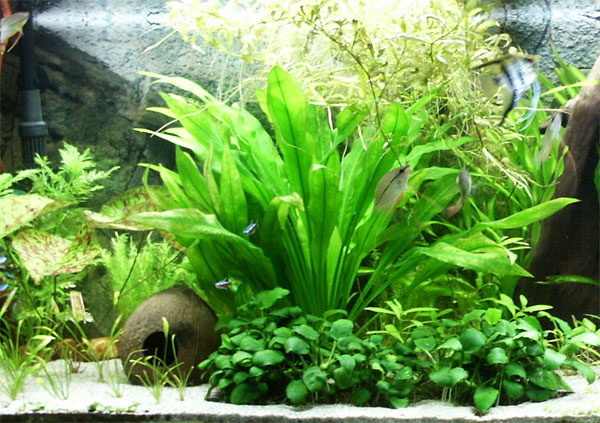 membuat aquascape murah