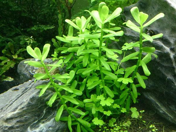 tanaman aquascape yang gampang dirawat