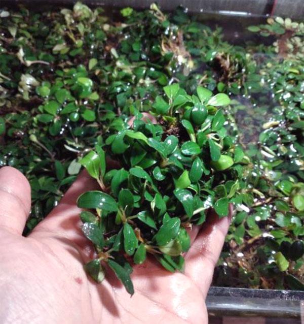 tanaman aquascape untuk pemula